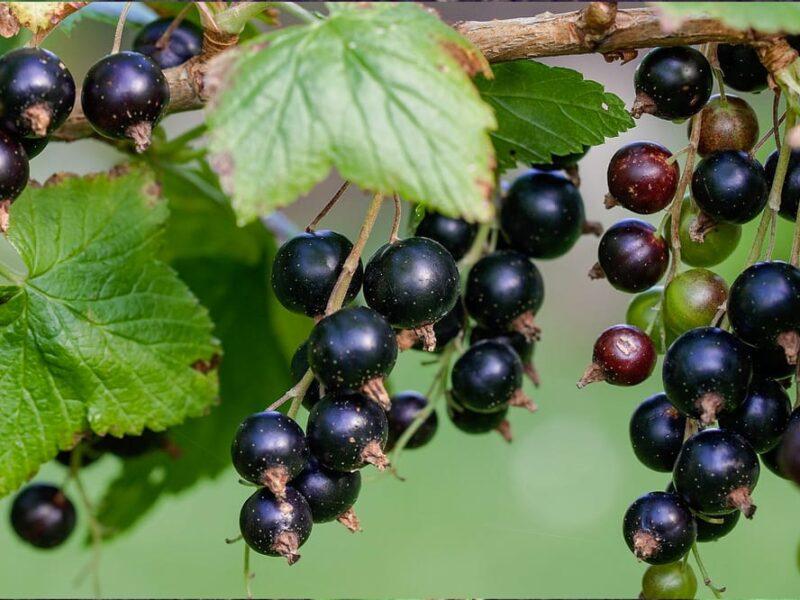 Чорна смородина: сорти, як вирощувати, догляд, проблеми та урожай