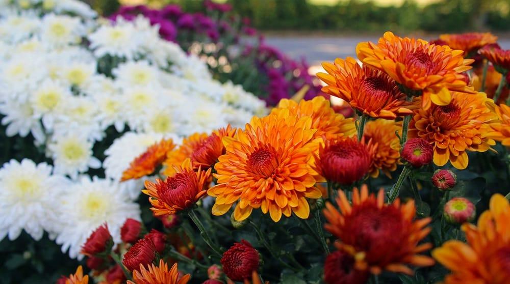 Як виростити пишні хризантеми, які будуть тішити вас цієї осені