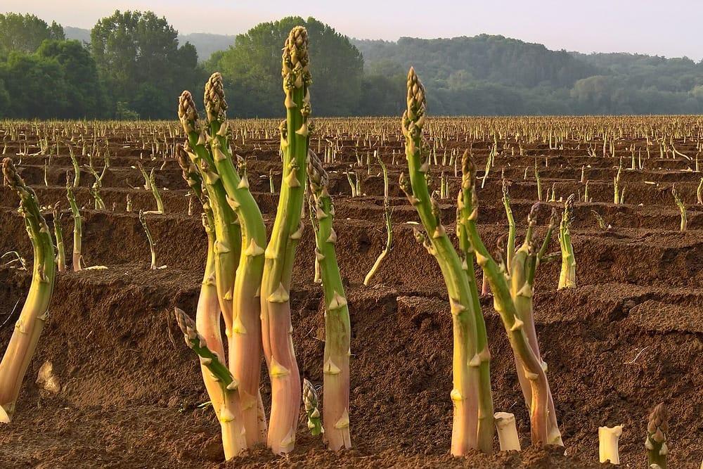 Як вирощувати спаржу з насіння чи пагону