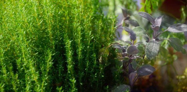 Зелень та трави, що можна вирощувати в приміщенні цілий рік