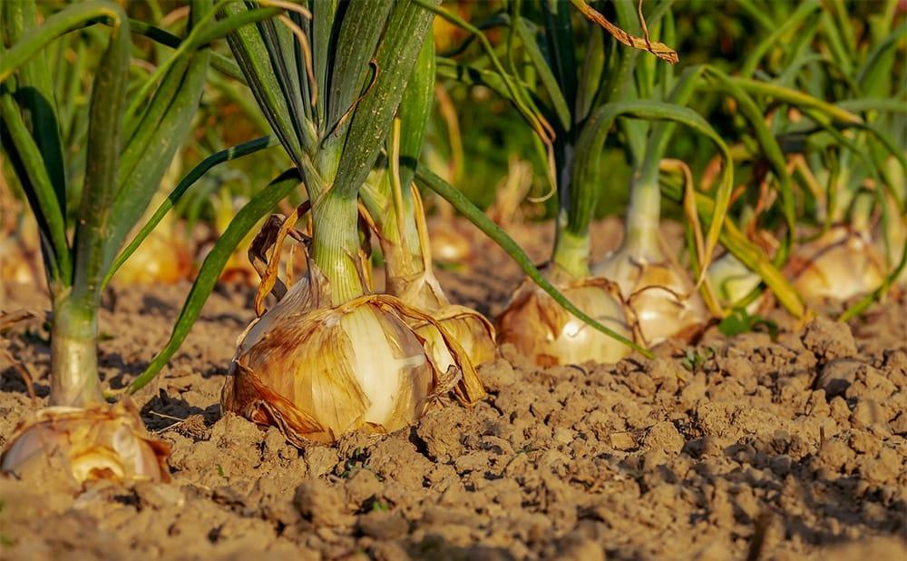 Як вирощувати цибулю