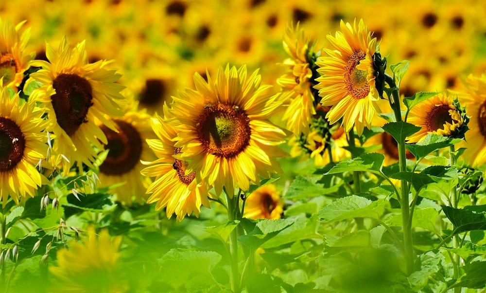 Як вирощувати соняшники для чудових урожаїв